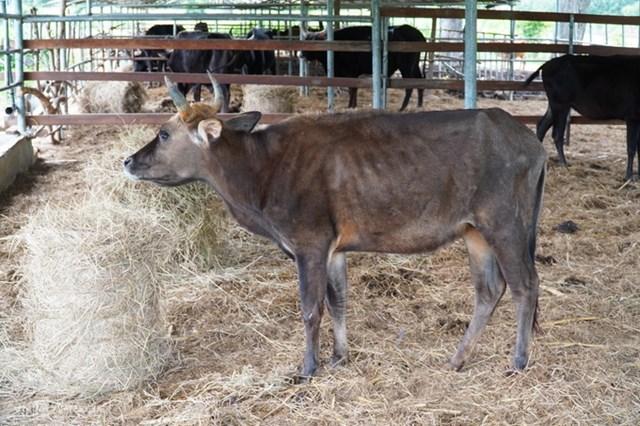 Đàn bò tót F1 Vườn quốc gia Phước Bình chỉ được ăn rơm khô suốt hơn một năm qua.