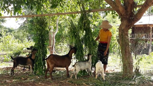 Chị Hồ Thị Êm chăm sóc đàn dê của gia đình.