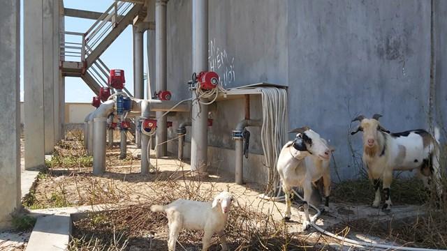 Các hạng mục như trạm bơm cấp I, II, bể chứa nước sạch, nhà điều hành... Nhà máy nước Hưng Thông được dùng để chăn thả dê.