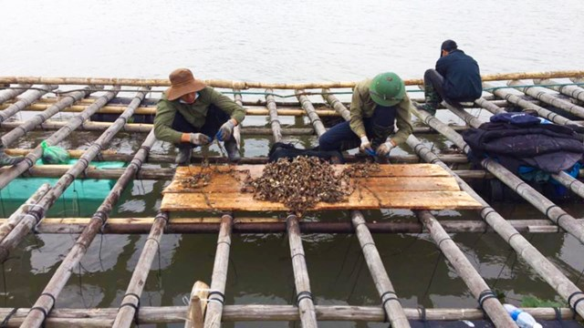 Ngư dân đang kiểm tra hàu giống tại vùng cửa sông thị xã Quảng Yên, tỉnh Quảng Ninh.