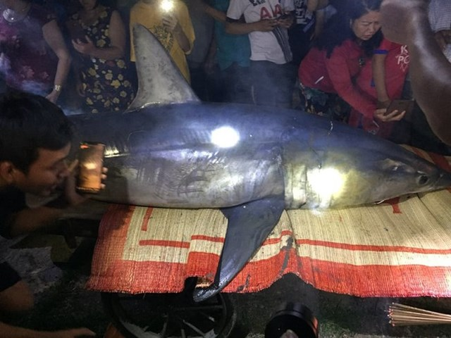 Cá mập xanh được người dân phát hiện và đưa vào bờ. Ảnh N.D..