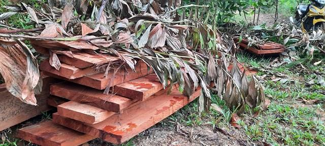 Gỗ lậu lâm tặc phá rừng chưa kịp vận chuyển đi.