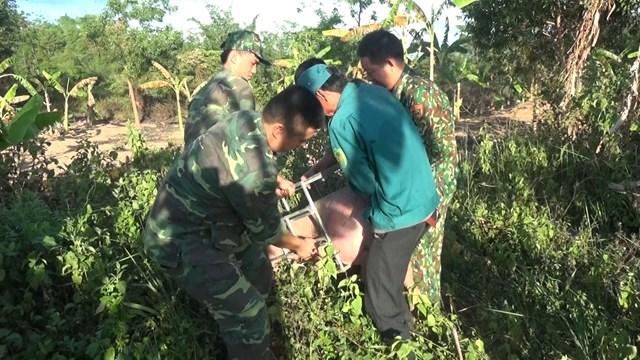 Lực lượng biên phòng thu giữ lợn nhập lậu qua biên giới tỉnh Quảng Trị. Ảnh: Nguyễn Quốc.