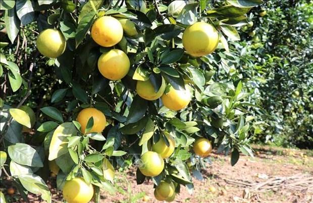 Cây cam giúp người dân nâng cao thu nhập.