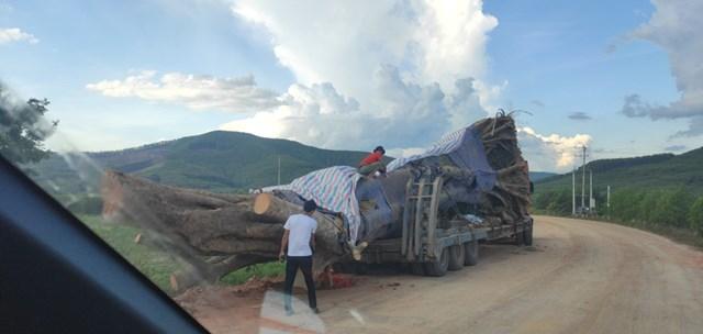 Cây khủng được di chuyển khỏi miền Tây xứ Nghệ, sau khi đi qua nhiều huyện nhưng không một cơ quan nào xử lý.