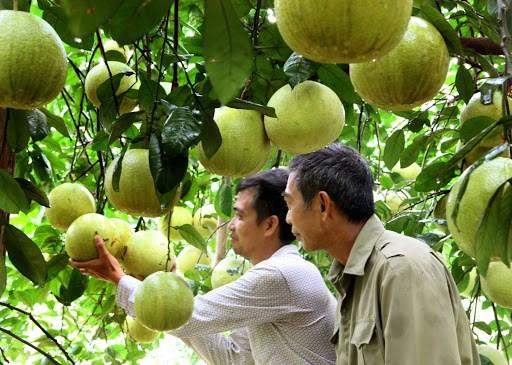 Phú Thọ: Phát triển cây bưởi trở thành cây trồng chủ lực - Ảnh 1