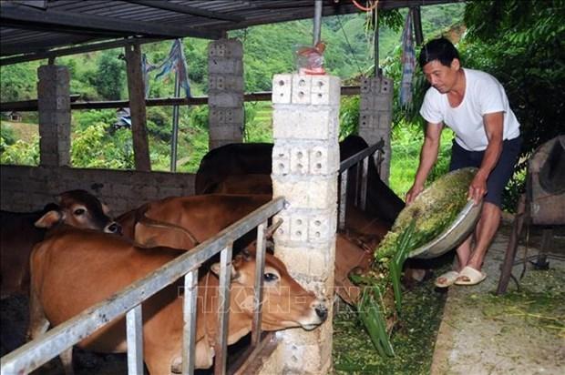 Mô hình chăn nuôi gia súc của cựu chiến binh ở Phù Yên, Sơn La.