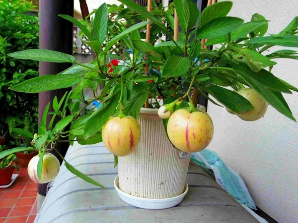 Dưa Pepino trồng trong chậu.