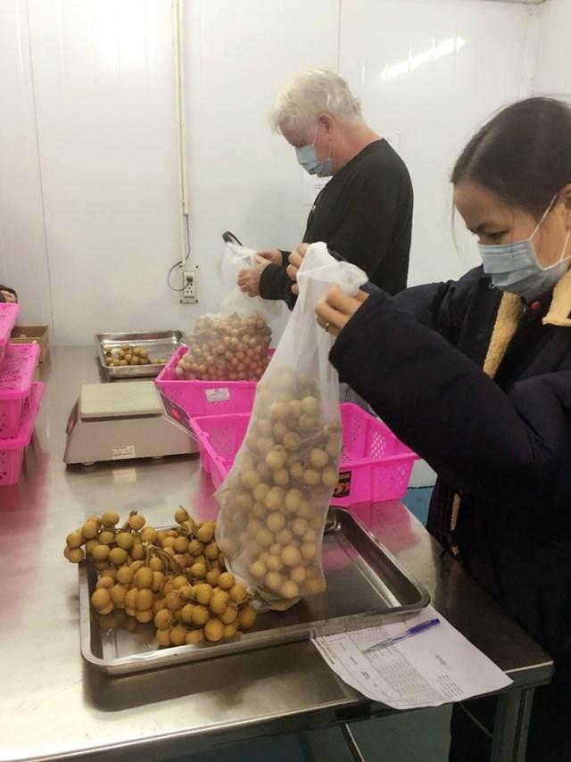 Kiểm tra chất lượng nhãn lồng Hưng Yên trước khi xuất khẩu.