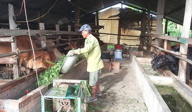 Gia đình ông Nguyễn Hùng luôn có 10 con bò nuôi nhốt.