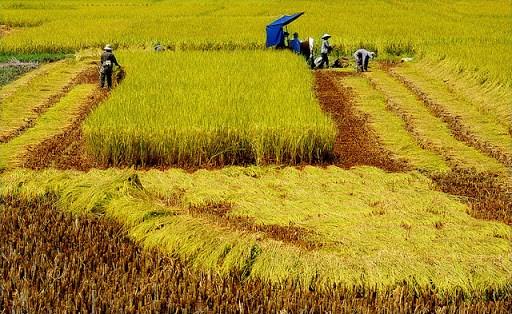 Lúa gạo Việt Nam đã vươn lên hàng đầu thế giới.