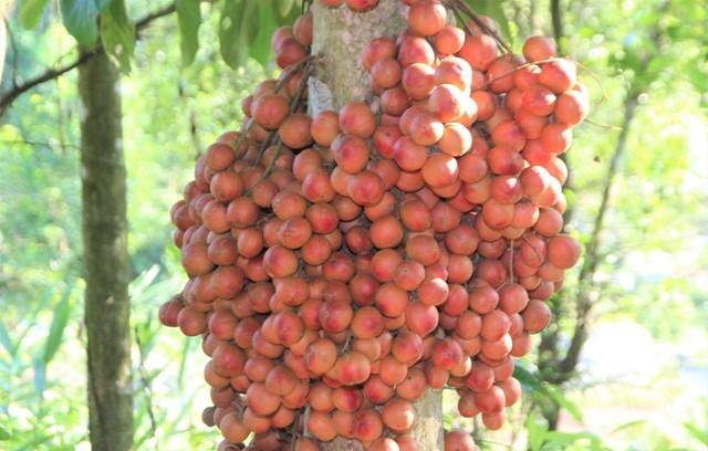 Quảng Nam: Dâu đất quả lạ xứ Tiên vào mùa chín rộ - Ảnh 1