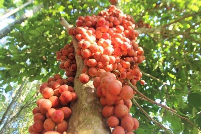 Nhiều cây dâu đất ở xã Tiên Thọ ra trái nặng trĩu quả.