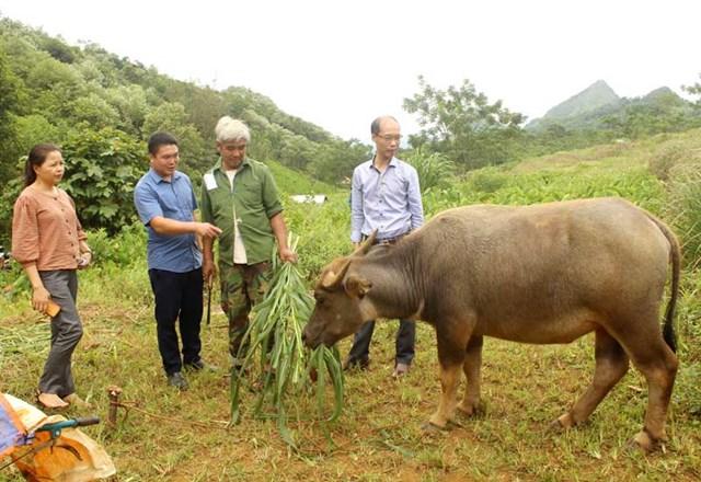 Nhờ nguồn vốn chính sách, nhiều gia đình xã Cao Sơn (Đà Bắc) đầu tư nuôi trâu đem lại hiệu quả kinh tế.