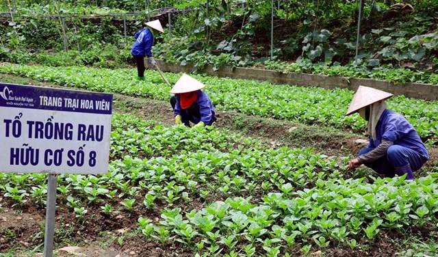 Chăm sóc rau hữu cơ tại trang trại Hoa Viên (xã Yên Trung, huyện Thạch Thất, Hà Nội).Ảnh: Thái Hiền.