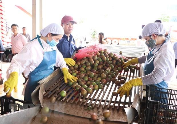 Gia Lai xuất khẩu chanh dây theo Hiệp định EVFTA.