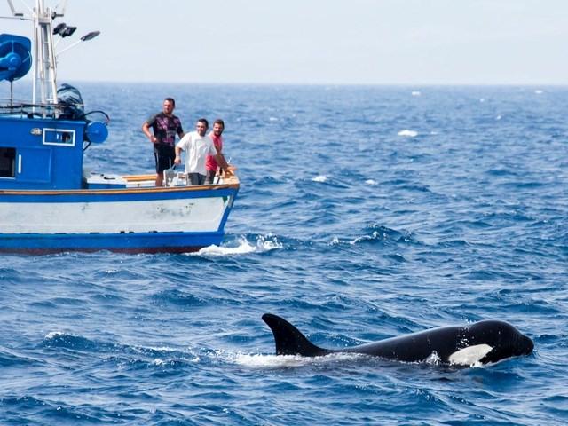Cá voi sát thủ tiến gần một con tàu.