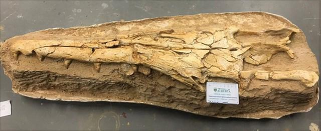 Hóa thạch mõm của Gavialimimus almaghribensis. Ảnh: Catie Strong.