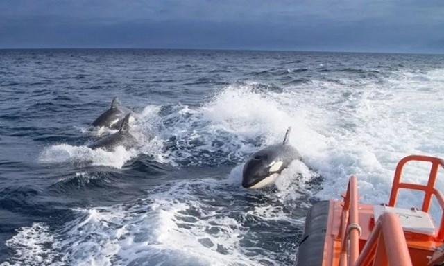 Các nhà nghiên cứu nhận dạng 3 con cá voi sát thủ nhờ những vết thương trên cơ thể chúng. Ảnh: MITMA.