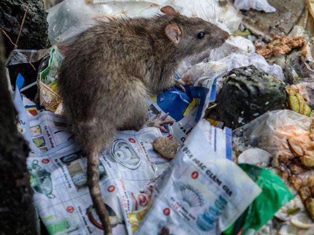 Thành phố nào nhiều chuột cống nhất nước Mỹ? - Ảnh 1